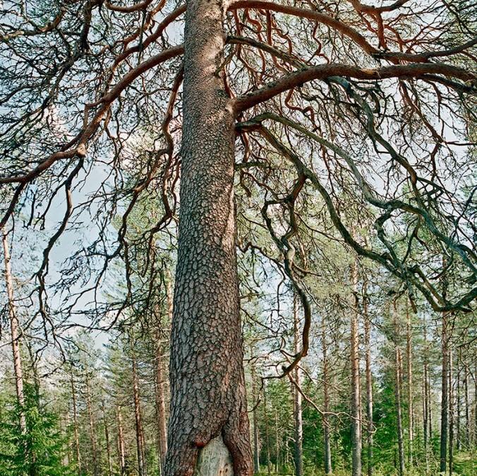 Ritva Kovalainen – Myyttiset puut