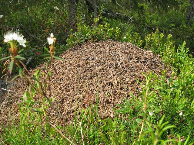 Muurahaispesä on metsänlinna