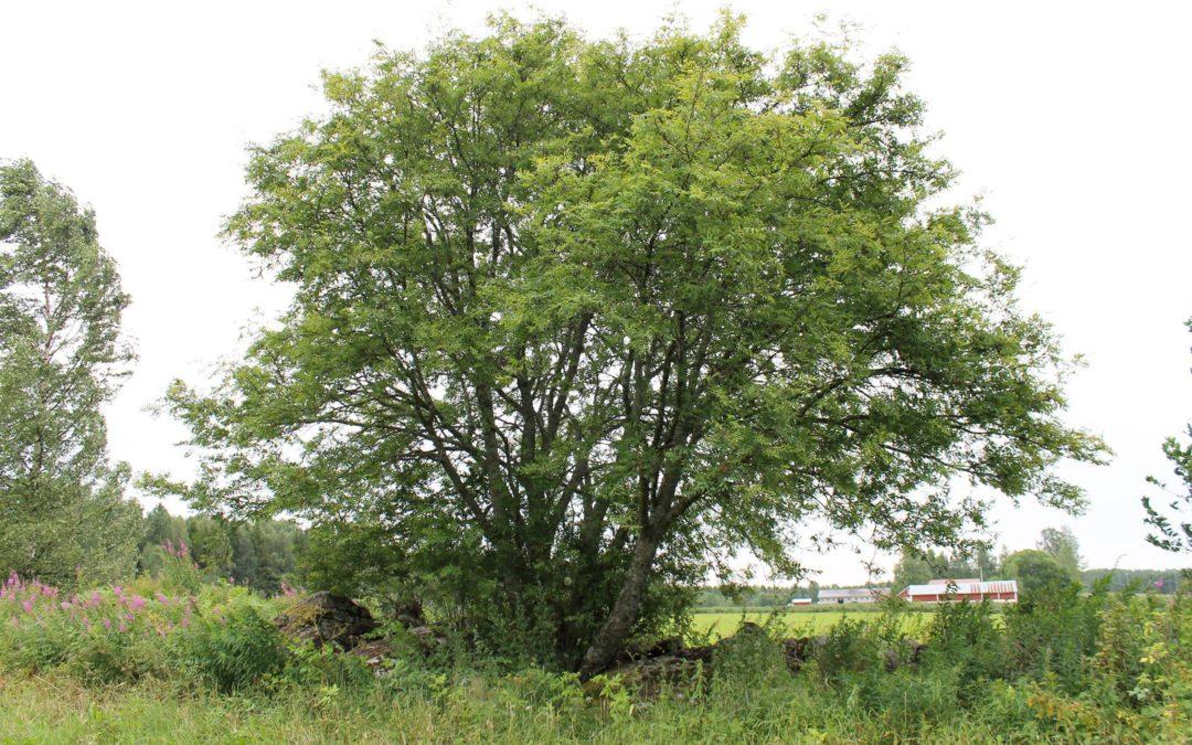 Pihapuut