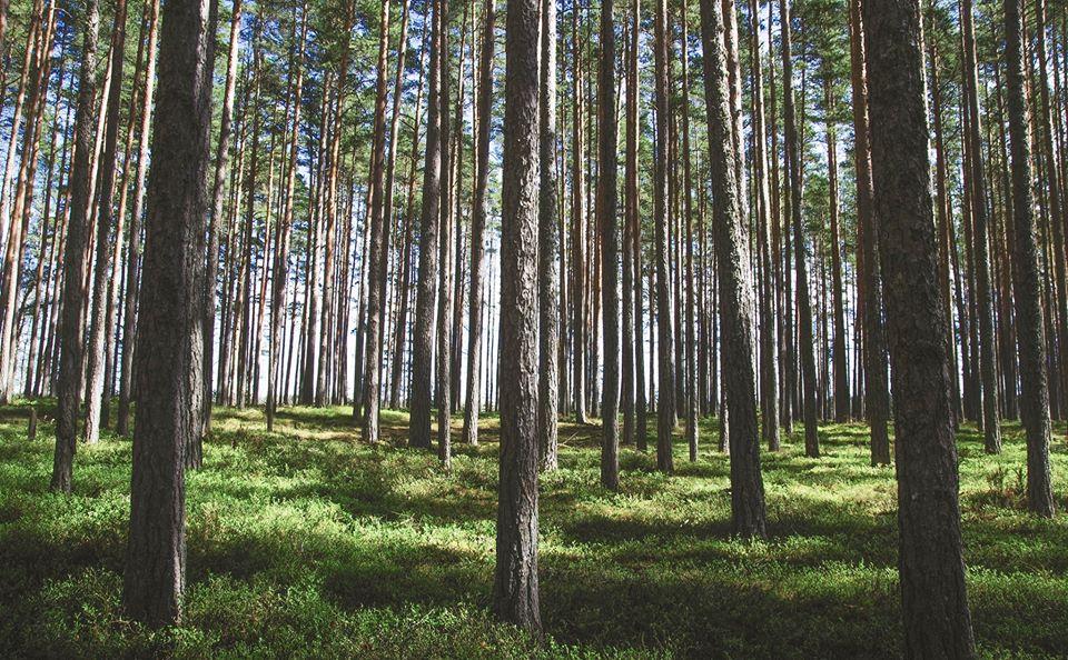 Pettu, hätäruokaa metsästä